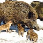 Wildschwein (Quelle: tierpark.ch)